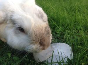Ijsblokje konijn