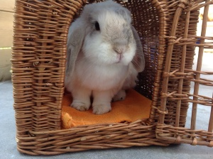 Vervoer konijn